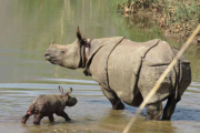 Aumenta población de rinocerontes en Nepal